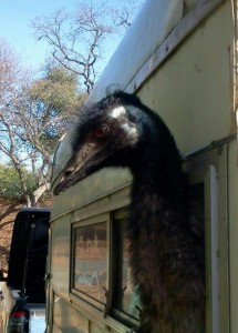 Winstin the Emu riding in the trailer